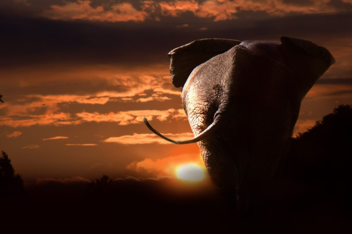 an elephant striding off into the sunset